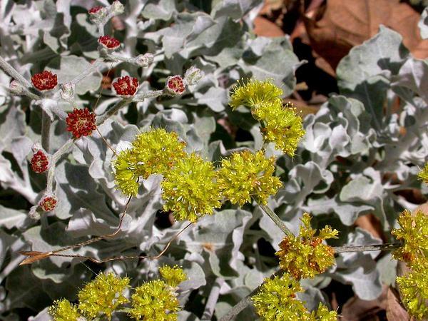 Coastal Buckwheat (Eriogonum Cinereum) http://www.sagebud.com/coastal-buckwheat-eriogonum-cinereum