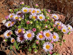 Navajo Fleabane