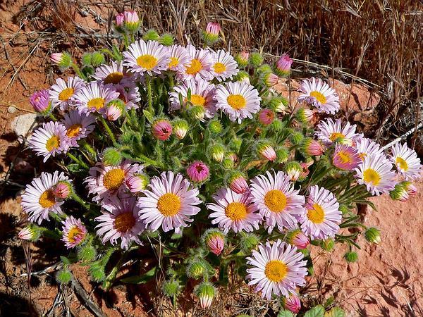 Navajo Fleabane (Erigeron Concinnus) http://www.sagebud.com/navajo-fleabane-erigeron-concinnus/