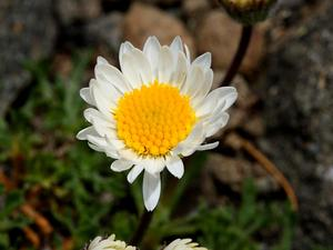 Cutleaf Daisy