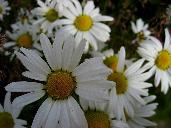 Cutleaf Daisy (Erigeron Compositus) http://www.sagebud.com/cutleaf-daisy-erigeron-compositus/