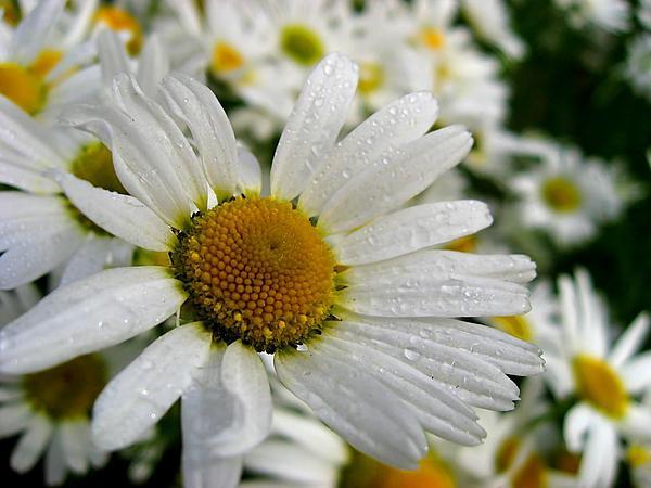Cutleaf Daisy (Erigeron Compositus) http://www.sagebud.com/cutleaf-daisy-erigeron-compositus
