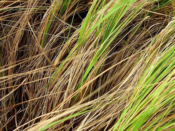 Weeping Lovegrass (Eragrostis Curvula) http://www.sagebud.com/weeping-lovegrass-eragrostis-curvula