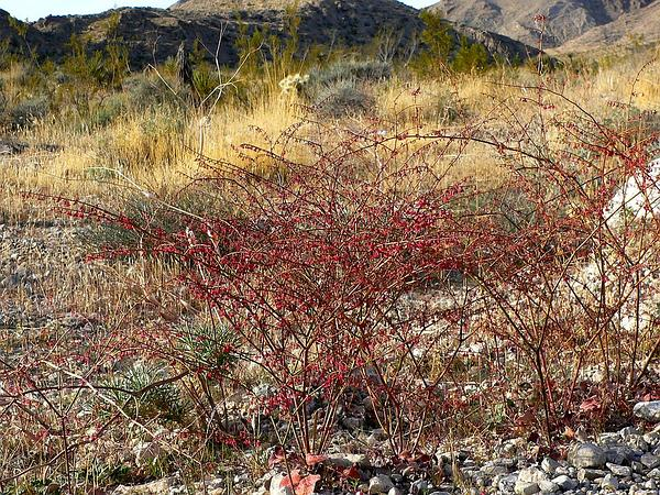 Flatcrown Buckwheat (Eriogonum Deflexum) http://www.sagebud.com/flatcrown-buckwheat-eriogonum-deflexum