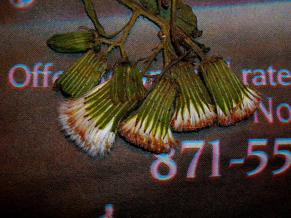 Burnweed (Erechtites) http://www.sagebud.com/burnweed-erechtites