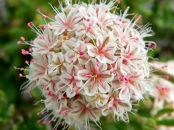 Eastern Mojave Buckwheat (Eriogonum Fasciculatum) http://www.sagebud.com/eastern-mojave-buckwheat-eriogonum-fasciculatum