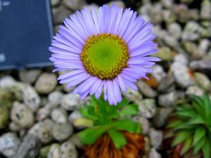 Flett's Fleabane
