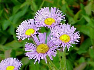 Streamside Fleabane