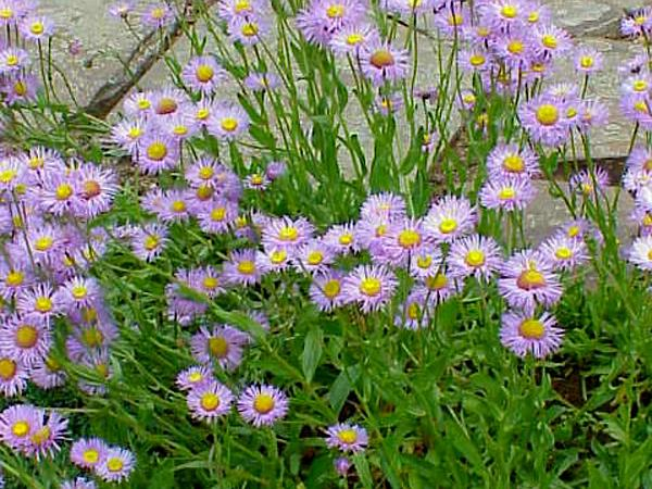 Streamside Fleabane (Erigeron Glabellus) http://www.sagebud.com/streamside-fleabane-erigeron-glabellus