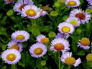 Seaside Fleabane