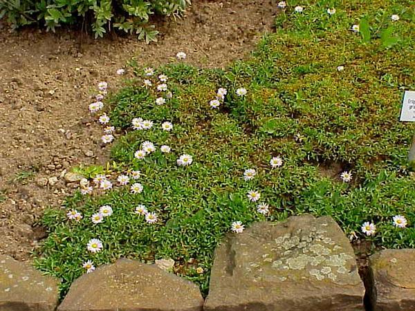 Largeflower Fleabane (Erigeron Grandiflorus) http://www.sagebud.com/largeflower-fleabane-erigeron-grandiflorus