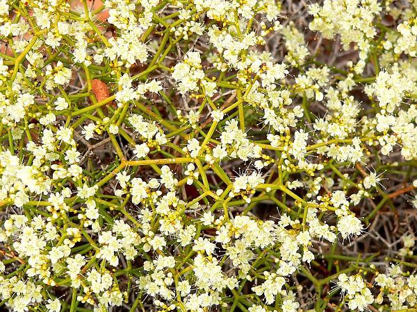 Heermann's Buckwheat (Eriogonum Heermannii) http://www.sagebud.com/heermanns-buckwheat-eriogonum-heermannii