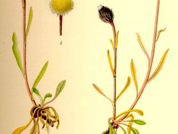 Arctic Alpine Fleabane (Erigeron Humilis) http://www.sagebud.com/arctic-alpine-fleabane-erigeron-humilis