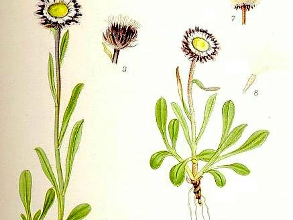Fleabane (Erigeron)
