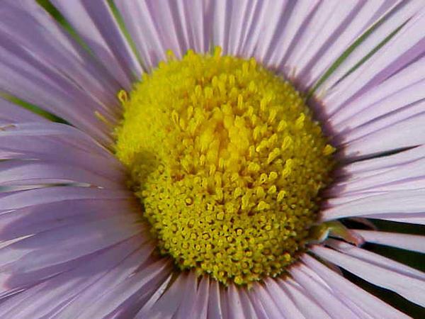 Fleabane (Erigeron) http://www.sagebud.com/fleabane-erigeron