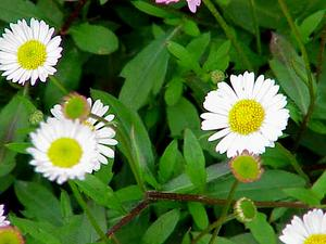 Latin American Fleabane
