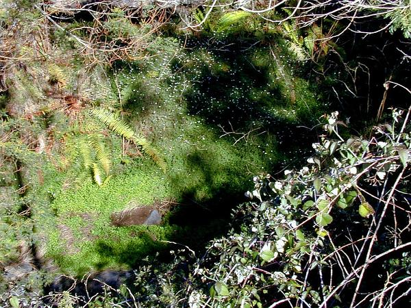 Latin American Fleabane (Erigeron Karvinskianus) http://www.sagebud.com/latin-american-fleabane-erigeron-karvinskianus/