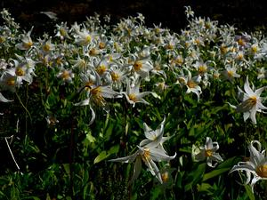 White Avalanche-Lily