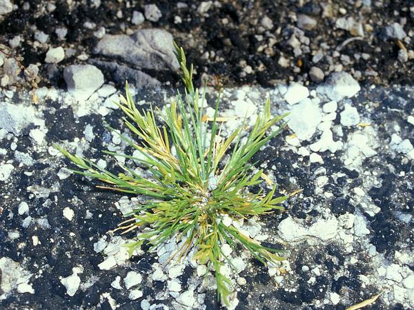 Oahu Lovegrass (Eragrostis Paupera) http://www.sagebud.com/oahu-lovegrass-eragrostis-paupera