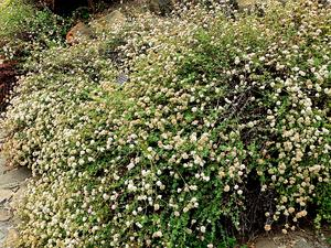 ERPA8/Eriogonum_parvifolium_1_300.jpg