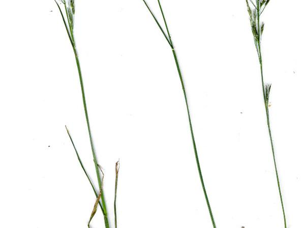 Tufted Lovegrass (Eragrostis Pectinacea) http://www.sagebud.com/tufted-lovegrass-eragrostis-pectinacea/