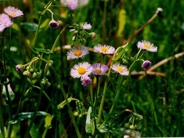 Philadelphia Fleabane (Erigeron Philadelphicus)