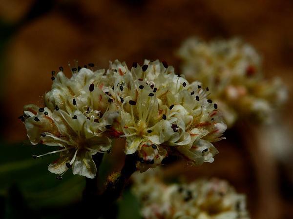 Shasta Buckwheat (Eriogonum Pyrolifolium) http://www.sagebud.com/shasta-buckwheat-eriogonum-pyrolifolium