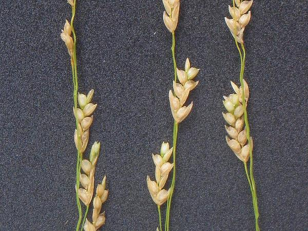 Teff (Eragrostis Tef) http://www.sagebud.com/teff-eragrostis-tef