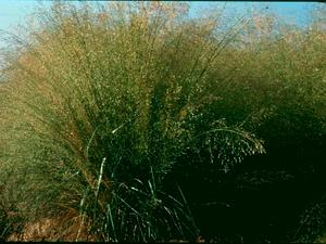 Sand Lovegrass