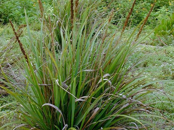 Kawelu (Eragrostis Variabilis) http://www.sagebud.com/kawelu-eragrostis-variabilis