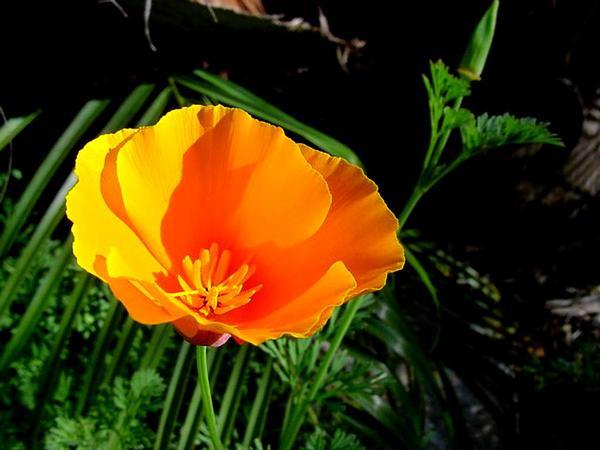 California Poppy (Eschscholzia Californica) http://www.sagebud.com/california-poppy-eschscholzia-californica/