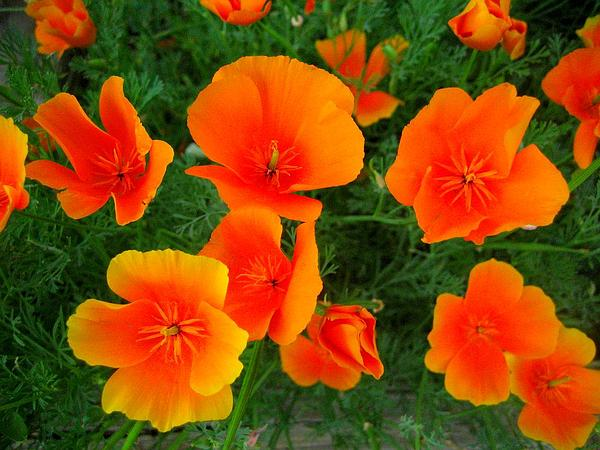 California Poppy (Eschscholzia Californica) http://www.sagebud.com/california-poppy-eschscholzia-californica