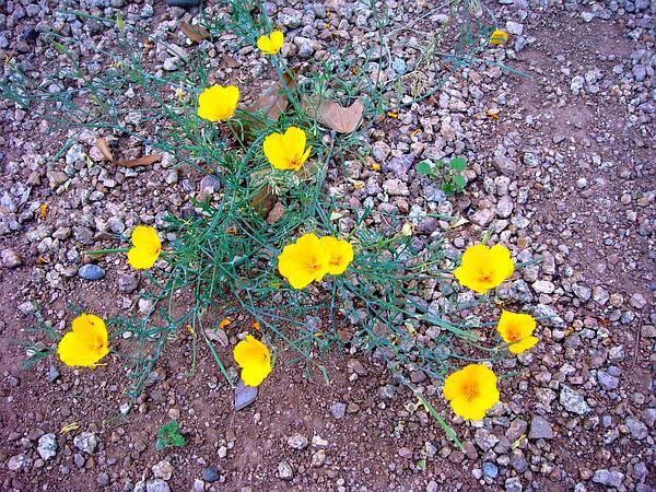California Poppy (Eschscholzia) http://www.sagebud.com/california-poppy-eschscholzia