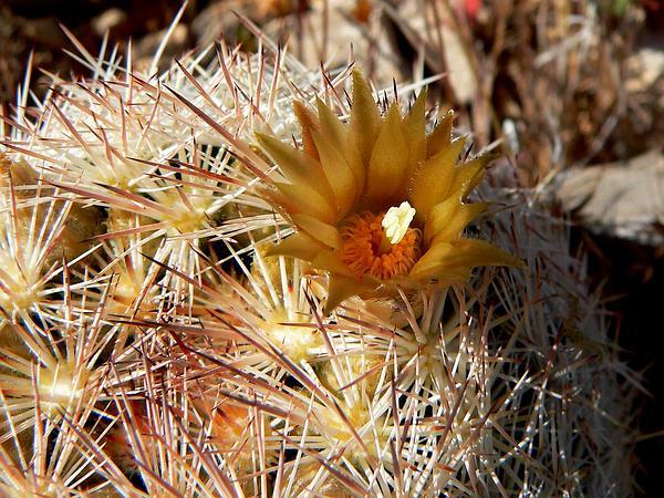 Foxtail Cactus (Escobaria) http://www.sagebud.com/foxtail-cactus-escobaria