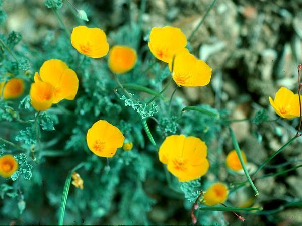 San Benito Poppy (Eschscholzia Hypecoides) http://www.sagebud.com/san-benito-poppy-eschscholzia-hypecoides/