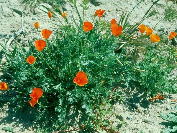 Lemmon's Poppy (Eschscholzia Lemmonii) http://www.sagebud.com/lemmons-poppy-eschscholzia-lemmonii/