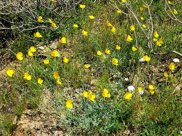 Pygmy Poppy (Eschscholzia Minutiflora) http://www.sagebud.com/pygmy-poppy-eschscholzia-minutiflora/