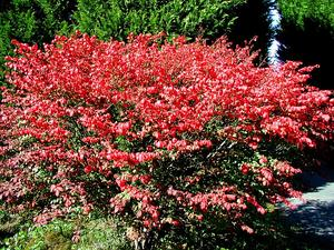 EUAL13/Burning_Bush_in_Autumn_foliage_300.JPG