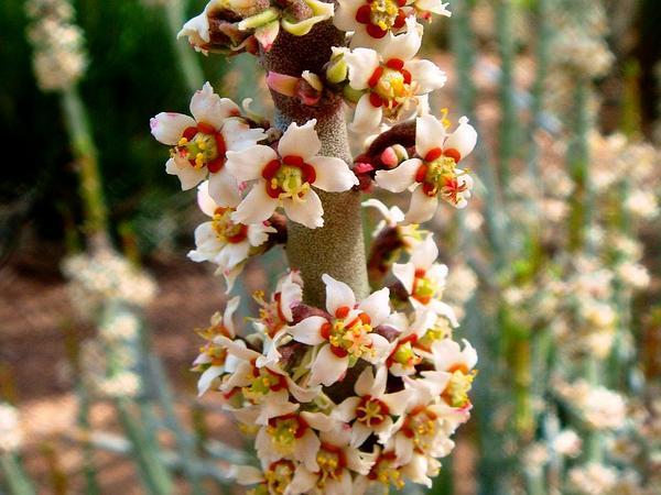 Candelilla (Euphorbia Antisyphilitica) http://www.sagebud.com/candelilla-euphorbia-antisyphilitica
