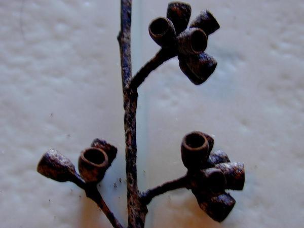 Southern Mahogany (Eucalyptus Botryoides) http://www.sagebud.com/southern-mahogany-eucalyptus-botryoides