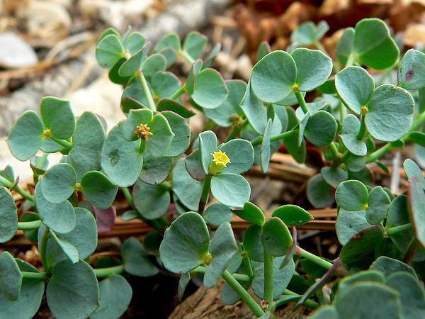 Horned Spurge (Euphorbia Brachycera) http://www.sagebud.com/horned-spurge-euphorbia-brachycera/