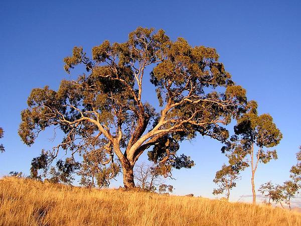 Applebox (Eucalyptus Bridgesiana) http://www.sagebud.com/applebox-eucalyptus-bridgesiana