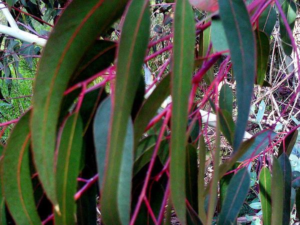 River Redgum (Eucalyptus Camaldulensis) http://www.sagebud.com/river-redgum-eucalyptus-camaldulensis