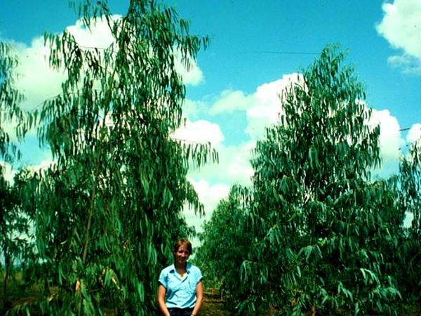 Gum (Eucalyptus) http://www.sagebud.com/gum-eucalyptus