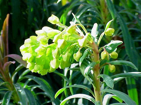 Albanian Spurge (Euphorbia Characias) http://www.sagebud.com/albanian-spurge-euphorbia-characias