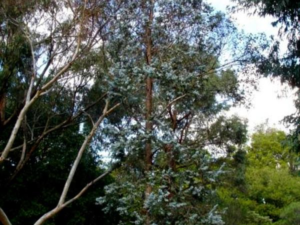 Argyle Apple (Eucalyptus Cinerea) http://www.sagebud.com/argyle-apple-eucalyptus-cinerea