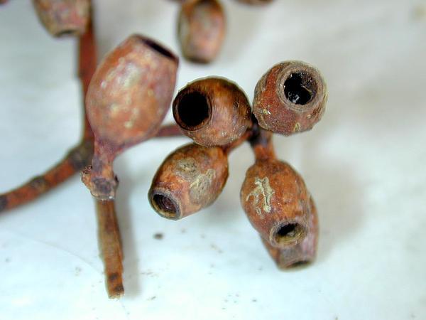 Sugargum (Eucalyptus Cladocalyx) http://www.sagebud.com/sugargum-eucalyptus-cladocalyx