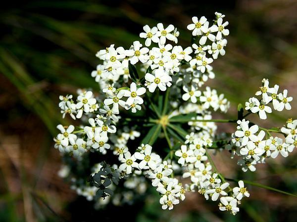 Flowering Spurge (Euphorbia Corollata) http://www.sagebud.com/flowering-spurge-euphorbia-corollata