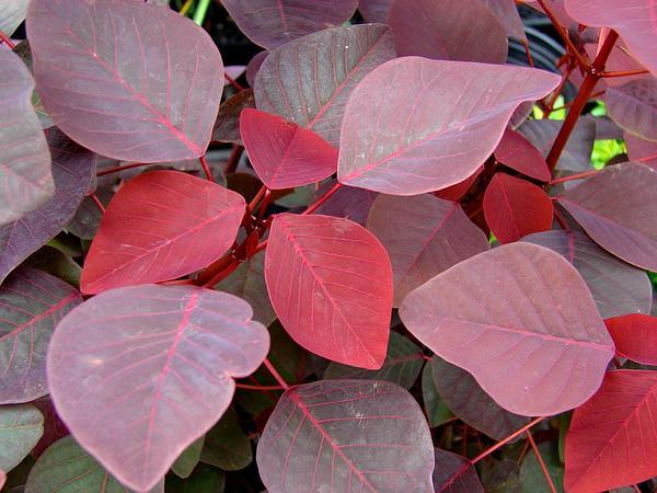 Mexican Shrubby Spurge (Euphorbia Cotinifolia) http://www.sagebud.com/mexican-shrubby-spurge-euphorbia-cotinifolia