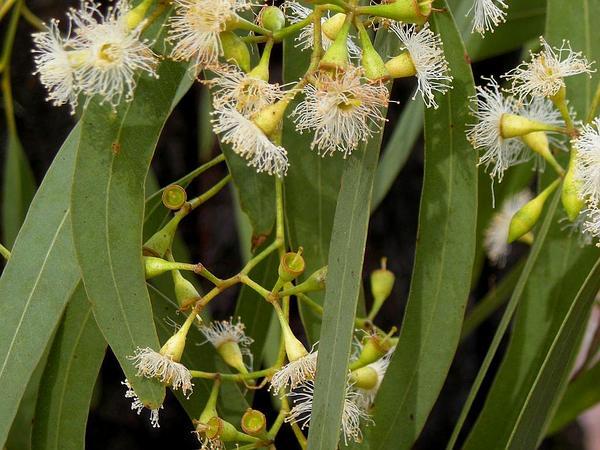 Narrowleaf Red Ironbark (Eucalyptus Crebra) http://www.sagebud.com/narrowleaf-red-ironbark-eucalyptus-crebra